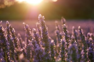 Lavender for sleep scent