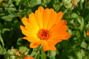 Treating diaper rash with calendula