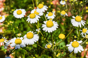 Medicinal Benefits Of Chamomile