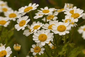 Health Benefits Of Feverfew