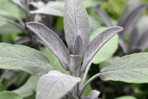Healing Properties Of Sage
