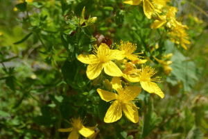 St John's Wort Health Benefits